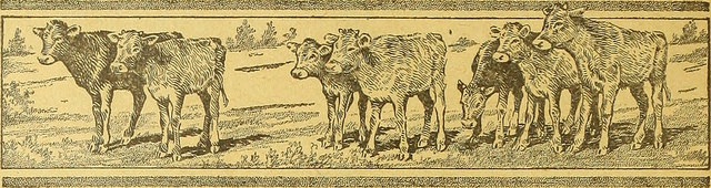 Vintage drawing of young cattle